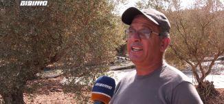 موسم قطف الزيتون يعتبر يوما وطنيا لكل الفلسطينيين من صغيرها وكبيرها ،مراسلون.02.11.20،مساواة