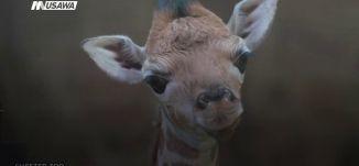 ب 60 ثانية،بريطانيا: مولود صغير لزراف روثتشايلد النادر ينضم لعائلة الحيوانات في حديقة البلاد،12-3