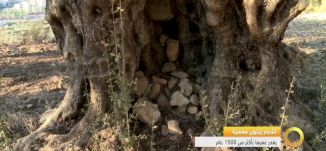تقرير - أشجار زيتون معمرة  يقدر عمرها بأكثر من 1500 عام - 28-11-2016- #صباحنا_غير- مساواة