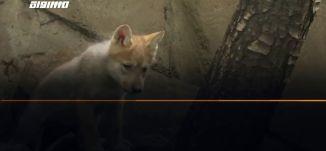 ب 60 ثانية-المكسيك: الأنظار تتجه لجراء الذئب المكسيكي المهدد بالانقراض بحديقة حيوان مكسيكو سيتي،28.6