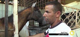 تقرير - تربية الخيول ، قصة عشق لا تنتهي - ياسر العقبي - صباحنا غير- 13-4-2017 - مساواة