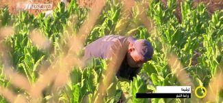 تقرير - زراعة التبغ في ترشيحا - مجد دانيال - صباحنا غير -6.9.2017 - قنا ة مساواة الفضائية